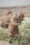 黑被盯梢的草原土拨鼠草原犬鼠ludovicianus 免版税库存图片