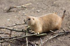 黑被盯梢的草原土拨鼠,草原犬鼠ludovicianus,啃的小树枝 免版税图库摄影