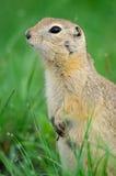 黑被盯梢的草原土拨鼠(草原犬鼠ludovicianus) 库存图片