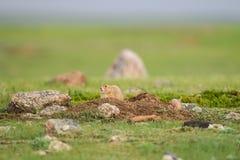 黑被盯梢的草原土拨鼠(草原犬鼠ludovicianus) 免版税库存照片
