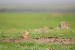 黑被盯梢的草原土拨鼠(草原犬鼠ludovicianus) 免版税库存图片