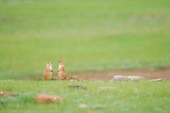 黑被盯梢的草原土拨鼠(草原犬鼠ludovicianus) 库存照片
