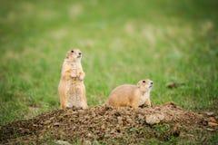 黑被盯梢的草原土拨鼠(草原犬鼠ludovicianus) 图库摄影