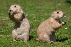 黑被盯梢的草原土拨鼠& x28; 草原犬鼠ludovicianus& x29; 免版税库存图片