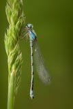 被盯梢的蓝色蜻蜓 库存图片