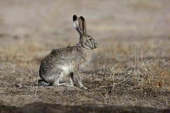 黑被盯梢的起重器兔子,天兔座californicus 免版税库存照片