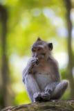 被盯梢的长的短尾猿猴子 免版税库存图片