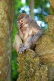 被盯梢的长的短尾猿 库存图片