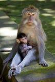 被盯梢的长的短尾猿 免版税图库摄影