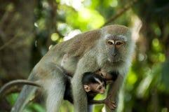 被盯梢的长的短尾猿 免版税库存照片