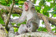 被盯梢的长的短尾猿 免版税库存图片