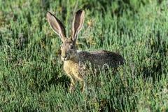 黑被盯梢的长耳大野兔,穿上爱德华兹nwr,加州 免版税图库摄影