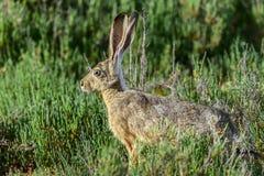 黑被盯梢的长耳大野兔,穿上爱德华兹nwr,加州 库存图片