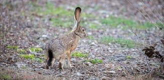 黑被盯梢的长耳大野兔-天兔座californicus,侧视图 图库摄影