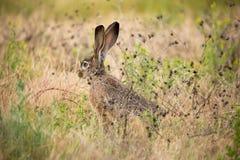 黑被盯梢的长耳大野兔(天兔座californicus) -美国沙漠野兔,机敏 库存图片