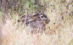 黑被盯梢的长耳大野兔(天兔座californicus) -美国沙漠野兔,被伪装 免版税库存照片