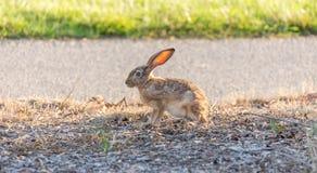 黑被盯梢的长耳大野兔-天兔座californicus 免版税图库摄影