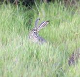 黑被盯梢的长耳大野兔-天兔座californicus 免版税库存图片
