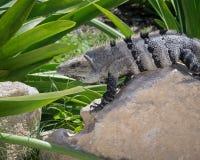 被盯梢的鬣鳞蜥墨西哥多刺 免版税图库摄影