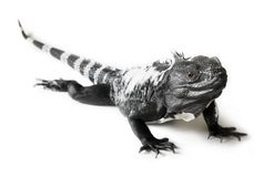 被盯梢的鬣鳞蜥多刺 免版税库存照片