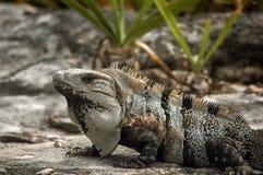 被盯梢的鬣鳞蜥多刺 免版税图库摄影
