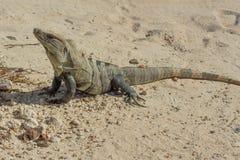 被盯梢的鬣鳞蜥多刺 库存图片