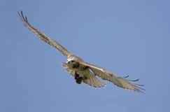 被盯梢的鹰红色腾飞 免版税库存照片
