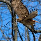 被盯梢的鹰红色 免版税库存照片