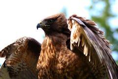被盯梢的鹰红色 免版税库存图片