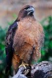 被盯梢的鹰红色 免版税图库摄影