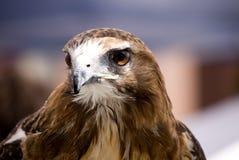 被盯梢的鹰顶头红色射击 免版税库存图片