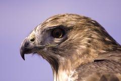 被盯梢的鹰顶头红色 库存图片