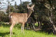 黑被盯梢的鹿母鹿 免版税库存照片