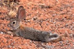 被盯梢的黑色沙漠插孔兔子 免版税库存照片