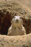 被盯梢的黑色草原犬鼠狗ludovicianus大草原 库存照片