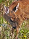 被盯梢的黑色鹿小鹿sitka 免版税库存照片