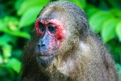 被盯梢的猴子树桩 免版税图库摄影