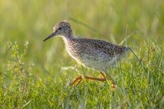 黑被盯梢的黑尾豫趟水者鸟小鸡赛跑和狩猎 免版税图库摄影