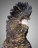 被盯梢的黑色美冠鹦鹉红色 库存图片