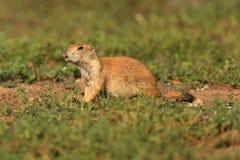被盯梢的黑色草原犬鼠狗ludovicianus大草原 免版税库存图片