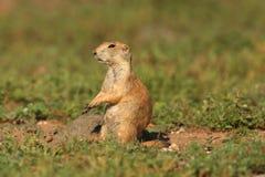 被盯梢的黑色草原犬鼠狗ludovicianus大草原 库存图片