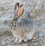 被盯梢的黑色长耳大野兔 库存照片