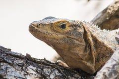 被盯梢的黑色鬣鳞蜥多刺 免版税库存照片