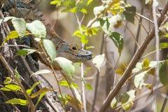 被盯梢的黑色鬣鳞蜥多刺 免版税库存图片