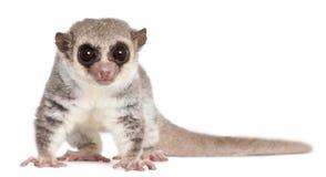 被盯梢的cheirogaleus矮小的肥胖狐猴medius 库存照片