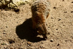 被盯梢的meercat苗条 库存照片