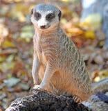 被盯梢的meerkat苗条 免版税库存照片