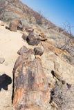 被石化的和矿化的树干在霍里克萨斯的,纳米比亚,非洲著名化石森林国家公园 280百万年 图库摄影