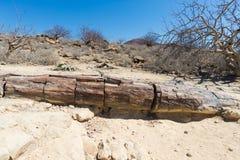 被石化的和矿化的树干在霍里克萨斯的,纳米比亚,非洲著名化石森林国家公园 280百万年 免版税库存照片