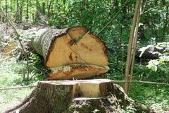 被砍成的树在森林里 免版税库存图片